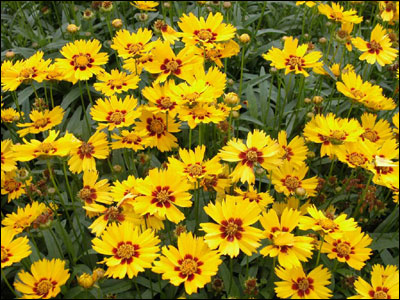 Plant id flowers and foliage coreopsis florida master gardener field of yellow coreopsis mightylinksfo Choice Image
