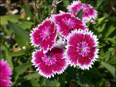 Plant id flowers and foliage dianthus florida master gardener pink and white dianthus flowers mightylinksfo