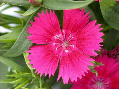 Plant id flowers and foliage dianthus florida master gardener pink dianthus flower mightylinksfo