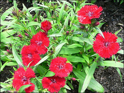 Red dianthus with foliage