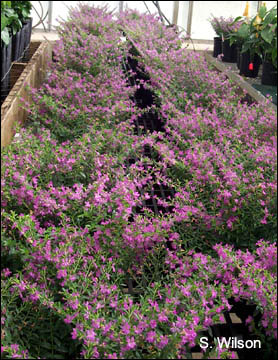 Mexican heather plants