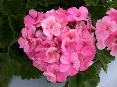 Plant id flowers and foliage geranium florida master gardener pink geranium flower mightylinksfo