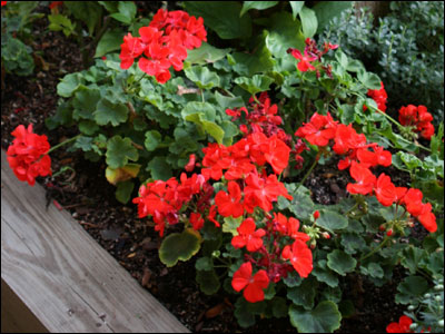 Geranium plant with red flowers