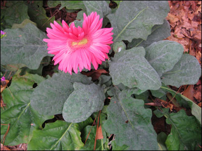 Pink gerbera with foliage