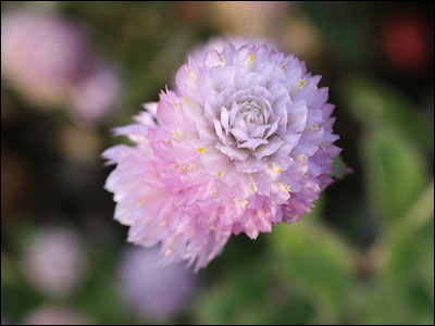 Single globe amaranth flower