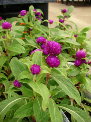 Globe amaranth flowers and foliage