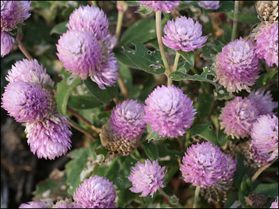 Globe amaranth plants