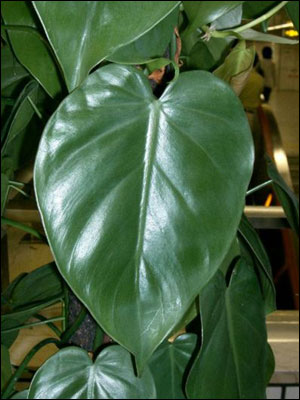 Plant ID: Flowers and Foliage: Heartleaf Philodendron ...