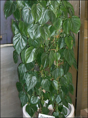 Heartleaf philodendron plant