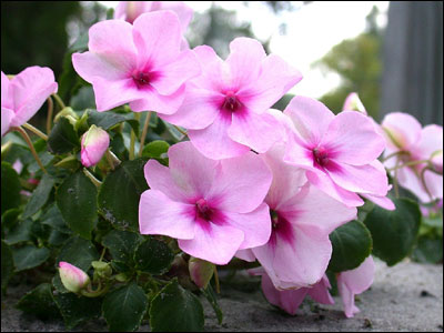 Plant id flowers and foliage impatiens florida master gardener pink impatiens mightylinksfo