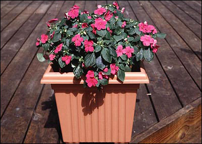 Impatiens in planter on deck