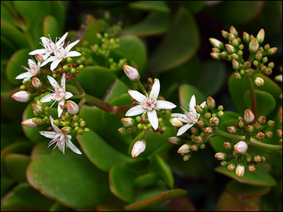Flower of jade plant