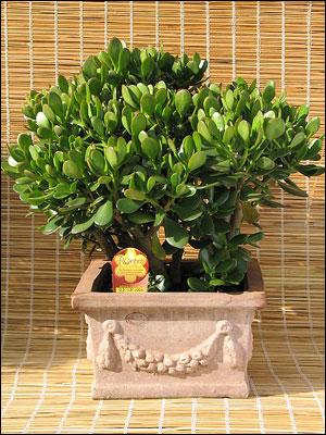 Лучшее место для размещения денежного дерева - окно на юго-востоке.  Согласно китайской традиции на деревце...