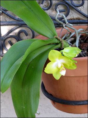 Moth orchid flower and foliage with brace roots showing