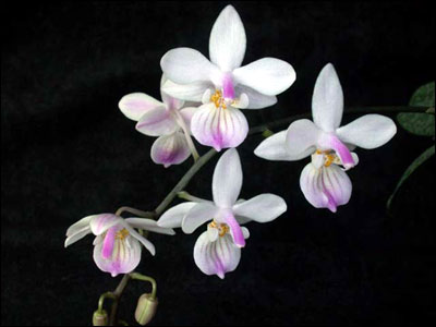 White moth orchids