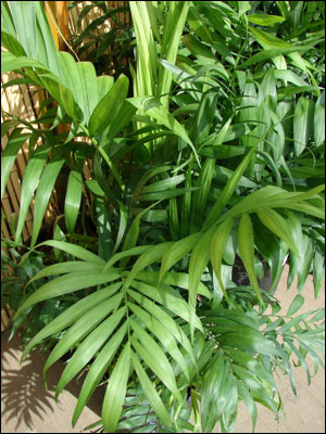 Parlor palm foliage