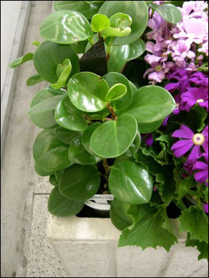 peperomia foliage - Flowering House Plants Identification