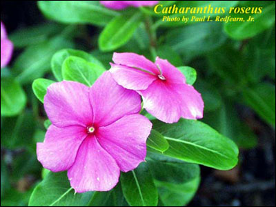 Plant id flowers and foliage periwinkle florida master gardener plant identification learning module flowers and foliage mightylinksfo