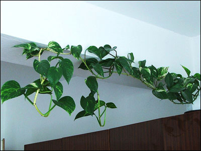 pothos vine - Identifying Common House Plants