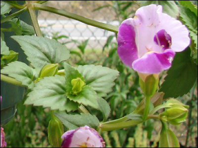 Torenia flower and foliage