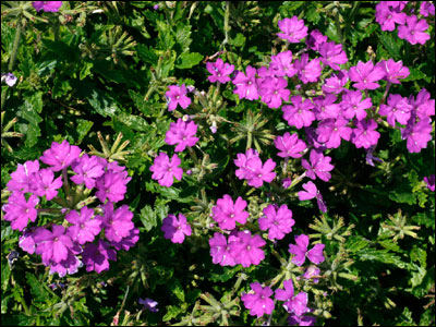 Verbena foliage and flowers