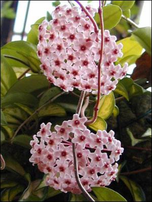 Plant id flowers and foliage wax plant florida master gardener wax plant flowers mightylinksfo