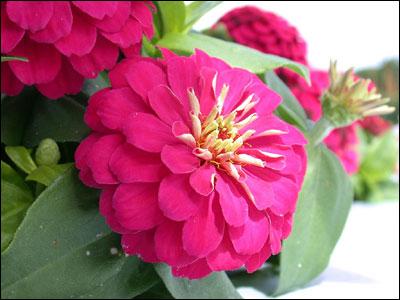 Plant id flowers and foliage zinnia florida master gardener pink zinnia mightylinksfo