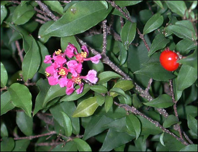 Barbados cherry fruit and flower