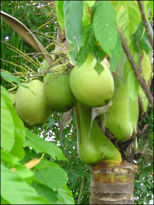 Immature coconut fruit on tree