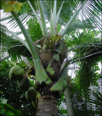 Closer view of coconut tree