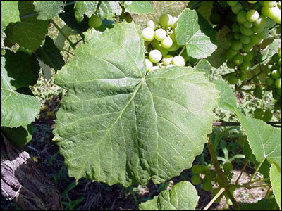 Foliage of grape plant