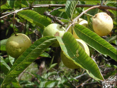 Unripened guavas hanging from branch