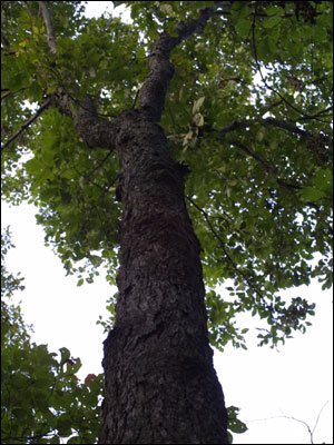 Hickory Tree Identification http://gardeningsolutions.ifas.ufl.edu/mastergardener/outreach/plant_id/fruits_nuts/hickory.shtml