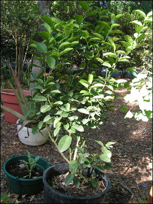 Key, or Mexican, lime tree