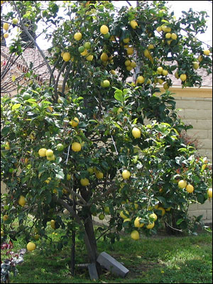Plant Id Fruits Nuts Lemon Florida Master Gardener Program University Of Insute Food And Agricultural Sciences