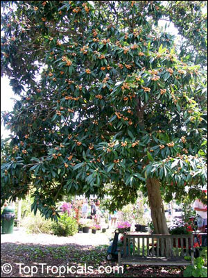 Loquat Fruit Tree Pictures