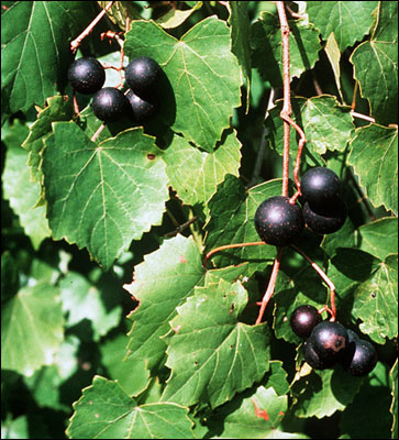 Plant ID: Fruits & Nuts: Muscadine Grapes - Florida Master