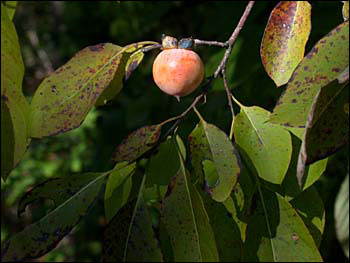 Fruit of native persimmon