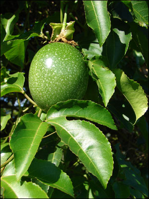 Passion fruit green on vine with leaves