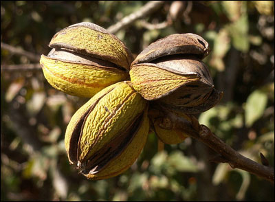 Pecans with husks opening
