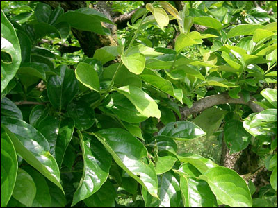 Foliage of Japanese persimmon tree