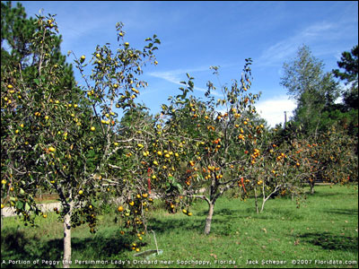 Persimmon orchard in Sopchoppy, FL