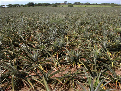 Pineapple field in Mexico