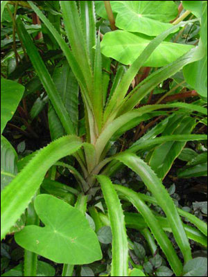 Leaves of pineapple plant