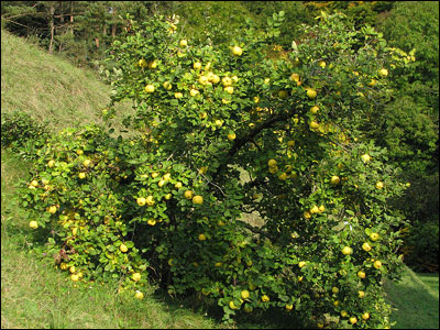 Plant ID: Fruits & Nuts: Quince - Florida Master Gardener ...