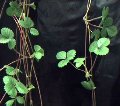 Stolons of strawberry plants