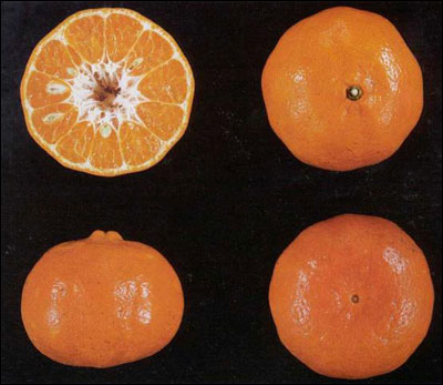 A Dancy tangerine from different angles including a cross section