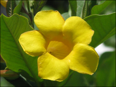Close up of Allamanda flower