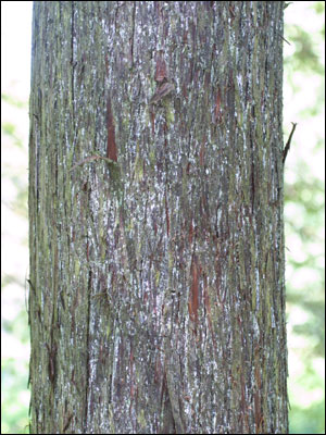 The bark of a bald cypress
