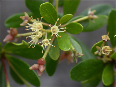 Black olive flower and fruit cluster